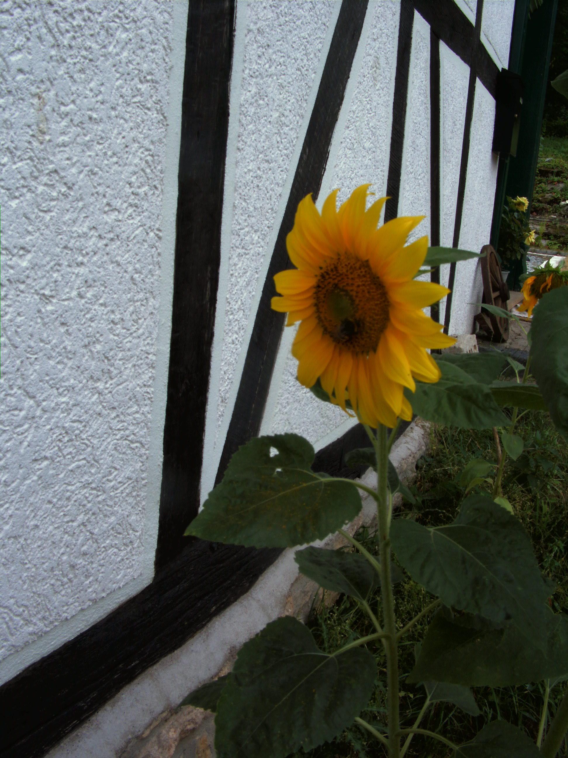 Teeniekreis -Sonnenblume-